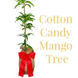 Cotton Candy Mango Tree