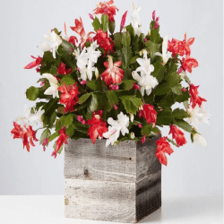 The Review Wire Holiday Gift Guide 2020: Red and White Christmas Cactus